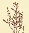 Leptospermum Dec - May pink, red, white