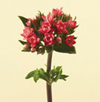 Bouvardia, Double Year Round Red, Coral, White, Pink