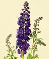 Delphinium, Hybrid Year Round blue, lavender, pink, white