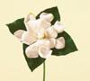 Gardenia Year Round White