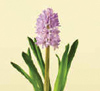 Hyacinth Nov - April Pink, White, Purple
