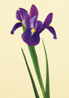 Iris Year Round purple, yellow, white, blue