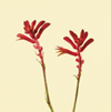 Kangaroo Paw Year Round red, orange, yellow, bi-colors