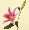 Lily, Oriental/ Stargazer Year Round white, red, pink