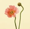 Poppy May