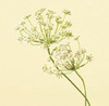 Queen Anne's Lace Year Round white