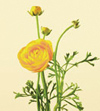 Ranunculus Jan - May yellow, orange, red, pink, white