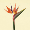 Bird Of Paradise Year Round Orange/Blue