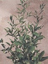Ruscus Year Round dark green