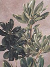 Pittosporum Year Round green and variegated varieties
