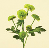 Chrysanthemum Spray - Button