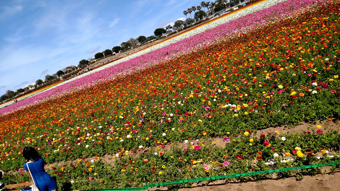 field-of-flowers